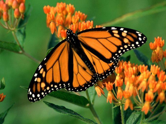 Бабочки 615 обои для рабочего стола
