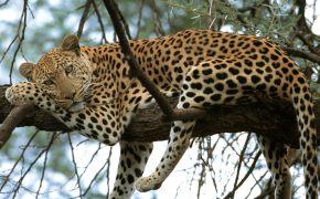 Отдыхающий леопард