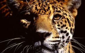Леопард, Величие, спокойствие, сила, уверенность.