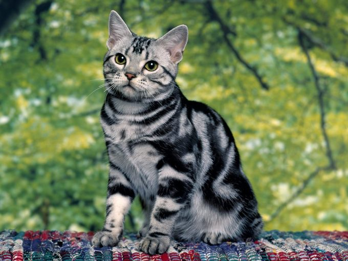 сиамские кошки длинношерстные фото