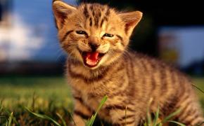 Британские кошки Питомник SunRay в Москве Продажа