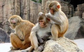 Три обезьяна, Заботливая мартышка кавыряется в голове другой обезьяны
